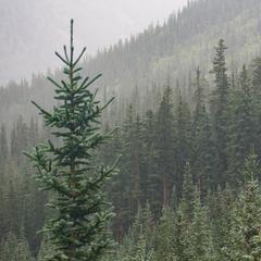 Forêt sempervirente