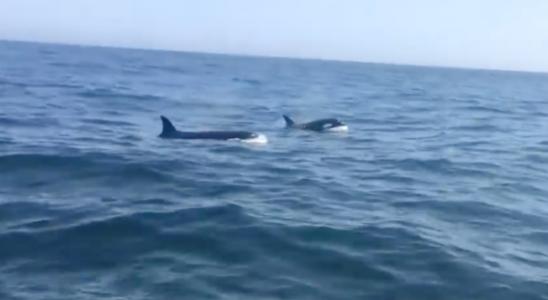 """Regardez: Deux orques harcèlent un sinistre grand requin blanc avant de se mordre la queue dans une """"frénésie charnelle!"""""""